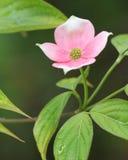 Fleur de cornouiller Photographie stock