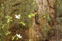 Fleur de cornouiller photos libres de droits