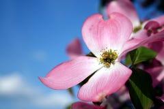 Fleur de cornouiller image stock