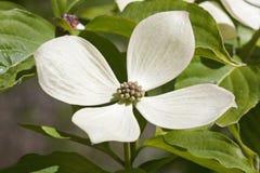 Fleur de cornouiller de constellation de Rutcan Photos libres de droits