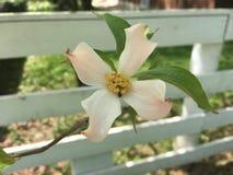 Fleur de cornouiller sur la barrière blanche Images libres de droits