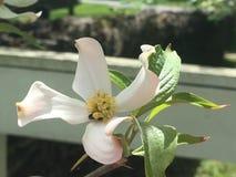 Fleur de cornouiller sur la barrière blanche Photo stock