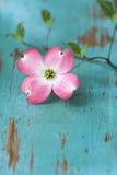 Fleur de cornouiller sur la table Photos stock