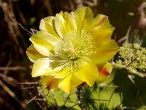 Fleur de Corse Photos libres de droits