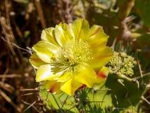 Fleur de Corse Images stock