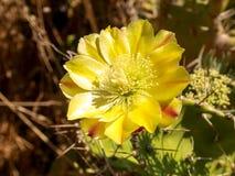 Fleur de Corse Image stock