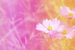 Fleur de cosmos Images libres de droits