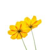Fleur de cosmos Image stock