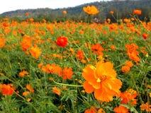 Fleur de cosmos Image libre de droits