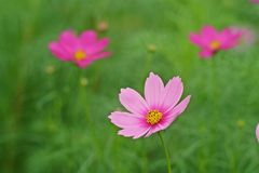 Fleur de cosmos Photographie stock