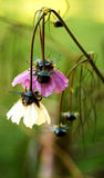 Fleur de cosmos après premier gel au sol Photo libre de droits