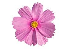 Fleur de cosmos avec des baisses de rosée d'isolement sur le fond blanc Images stock