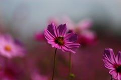 Fleur de cosmos (cosmos Bipinnatus) avec la petite abeille image stock