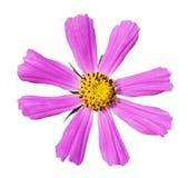 Fleur de cosmos d'isolement Photographie stock libre de droits