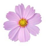 Fleur de cosmos d'isolement sur le fond blanc Photographie stock