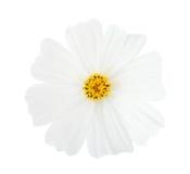 Fleur de cosmos d'isolement sur le fond blanc Milieux de cosmos de jardin pour la station thermale Images libres de droits