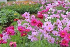 Fleur de cosmos dans le domaine Photo stock