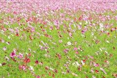 Fleur de cosmos dans le domaine. Photos stock