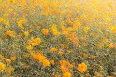 Fleur de cosmos dans le domaine Image libre de droits