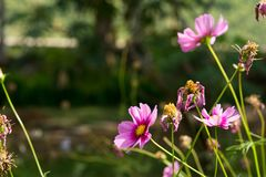 Fleur de cosmos dans le domaine sur le fond de ciel Photo libre de droits