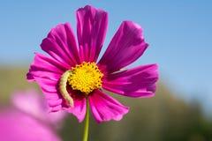 Fleur de cosmos dans le domaine sur le fond de ciel Images stock