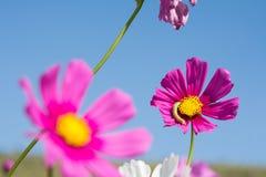 Fleur de cosmos dans le domaine sur le fond de ciel Images libres de droits