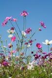 Fleur de cosmos dans le domaine sur le fond de ciel Image libre de droits