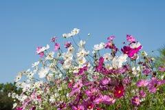 Fleur de cosmos dans le domaine sur le fond de ciel Photos stock