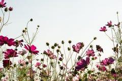 Fleur de cosmos dans le domaine sur le fond de ciel Photographie stock libre de droits