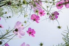 Fleur de cosmos de dessous Photographie stock
