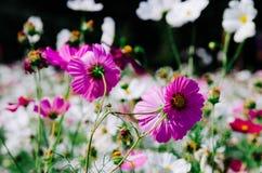 Fleur de cosmos de fleur photo libre de droits
