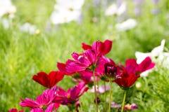 Fleur de cosmos de fond et lumière 65 du soleil Photo stock