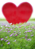 Fleur de cosmos de jardin (bipinnatus de cosmos) Photo libre de droits