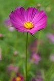 Fleur de cosmos de soufre Image libre de droits