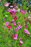 Fleur de cosmos de soufre Photographie stock