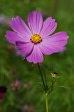 Fleur de cosmos de soufre Photographie stock libre de droits