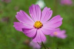 Fleur de cosmos de soufre Images libres de droits