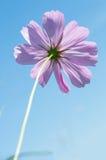 Fleur de cosmos de soufre Image stock
