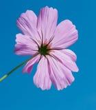Fleur de cosmos de soufre Images stock