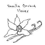 Fleur de cosses ou de bâtons et de vanille d'orchidée de vanille Illustration de vecteur d'isolement sur un fond blanc Main réali Photos libres de droits
