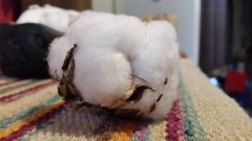 Fleur de coton Image libre de droits