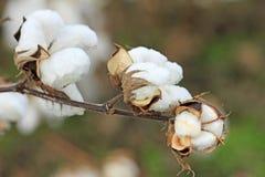 Fleur de coton Photographie stock