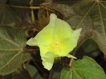 Fleur de coton Photo libre de droits