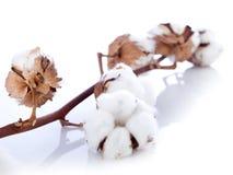 Fleur de coton au-dessus de branchement Photos stock