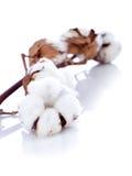 Fleur de coton au-dessus de branchement Image libre de droits