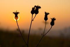 Fleur de coucher du soleil Images libres de droits