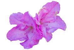 Fleur de couleur de Rose Photo stock