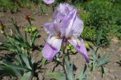fleur de couleur lavande d'iris germanique en mai image libre de droits