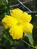 Fleur de courge d'éponge Photographie stock
