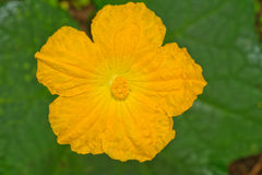 Fleur de courge de luffa Photo stock